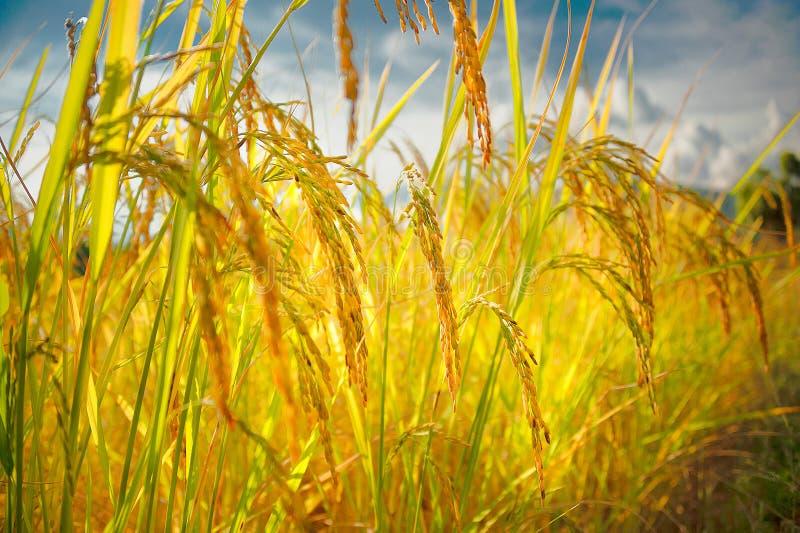 Золотистое поле риса Закройте вверх черенок риса стоковые изображения rf