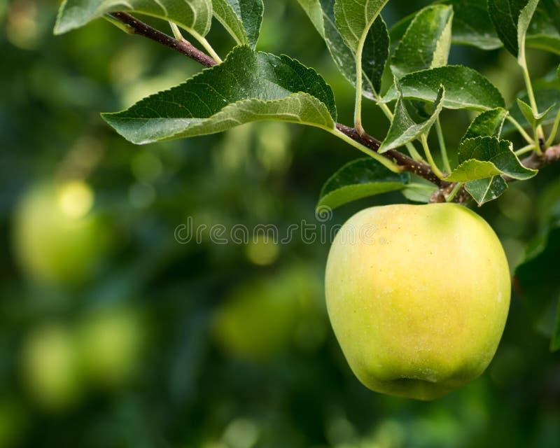 Золотисто - вкусное яблоко вися на вале стоковая фотография rf