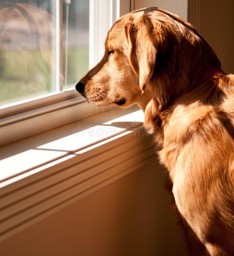 золотисто смотрящ вне окно retriever стоковое изображение
