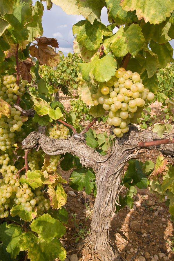 Download золотистые виноградины стоковое изображение. изображение насчитывающей green - 6865169