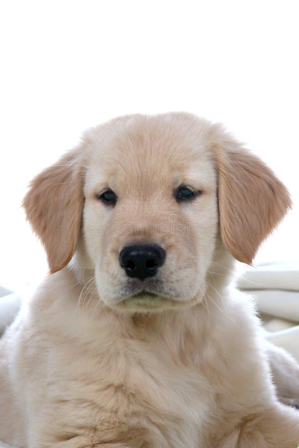 золотистый головной retriever щенка стоковое фото rf