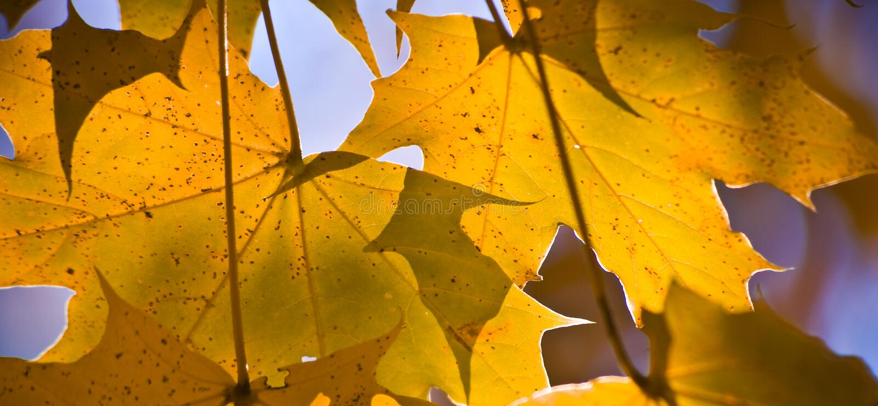 золотистый заход солнца клена листьев стоковое изображение rf