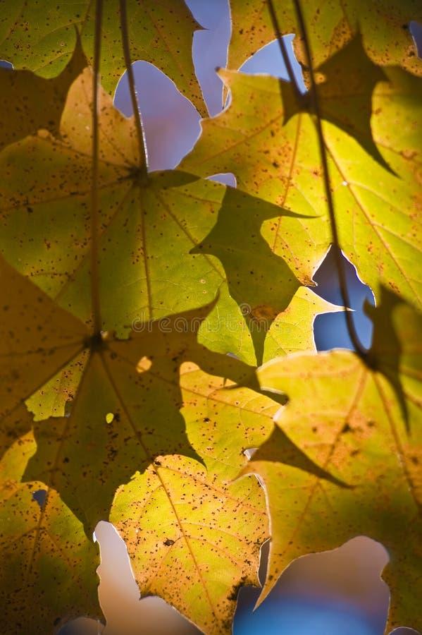 золотистый солнечний свет клена листьев стоковые фото