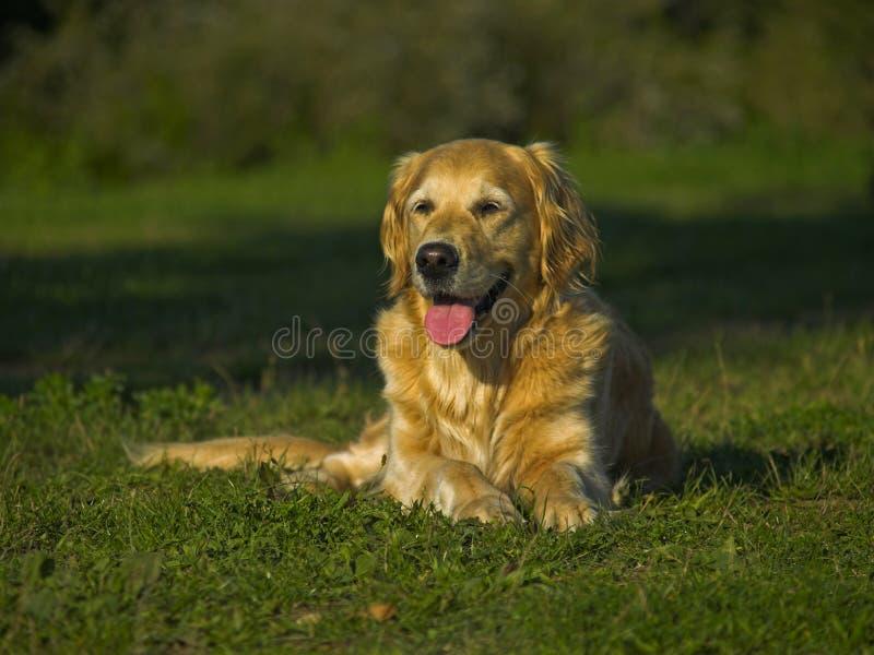 золотистый счастливый retriever испытывающий жажду стоковое фото