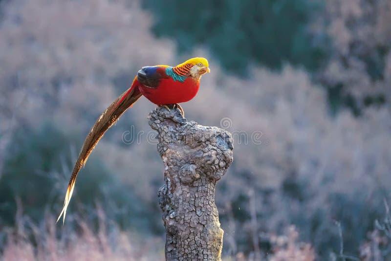 золотистый фазан стоковое изображение rf