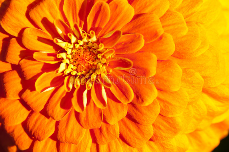 Золотистый close-up хризантемы стоковое фото rf
