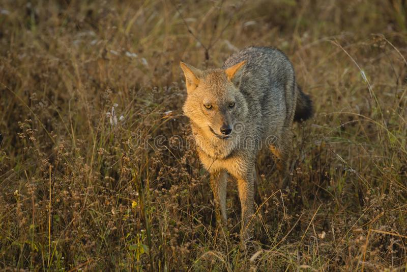 золотистый jackal стоковая фотография rf