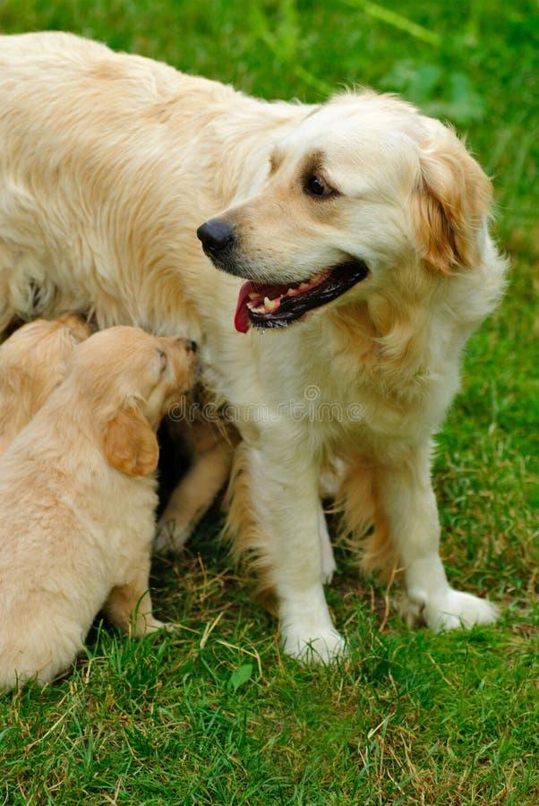 золотистый retriever щенка травы стоковые фотографии rf