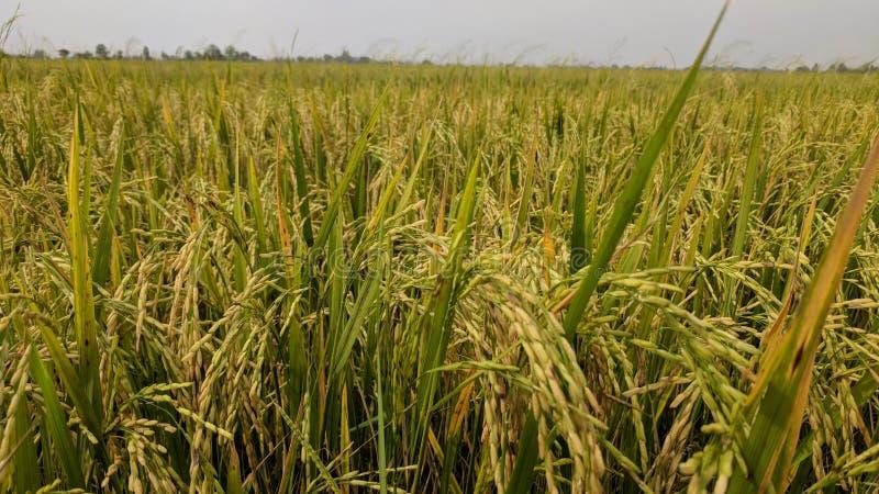 золотое зерно и золотой рис в моей ферме стоковое фото