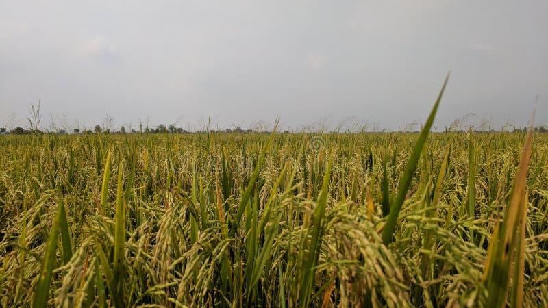 золотое зерно и золотой рис стоковая фотография