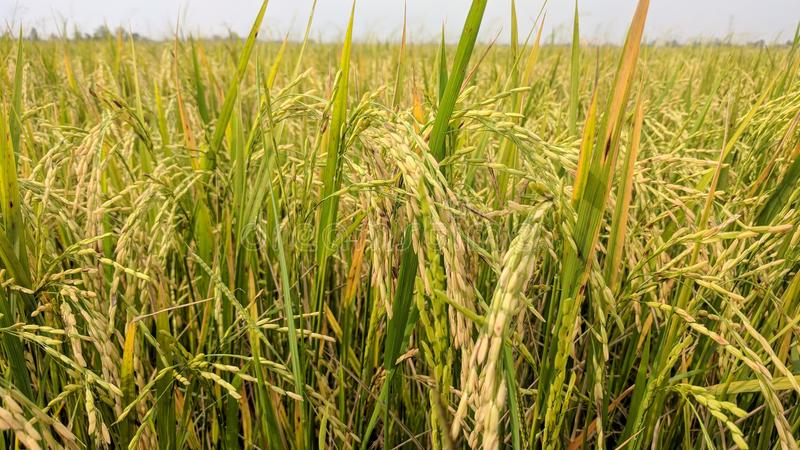 золотое зерно и золотой рис стоковые изображения