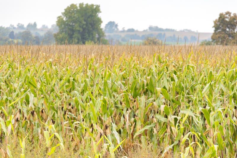 Золотое кукурузное поле с достаточным урожаем готовым для сбора в осени стоковое изображение