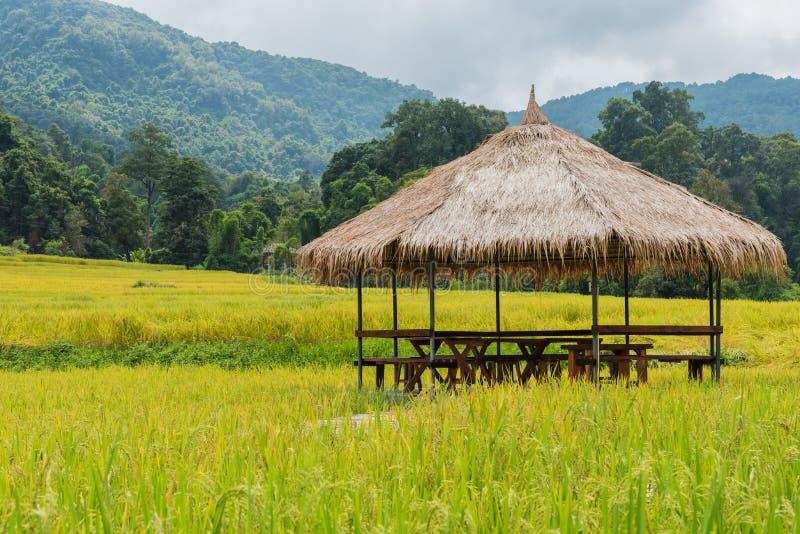 золотое поле риса с хатой и горой стоковое изображение rf