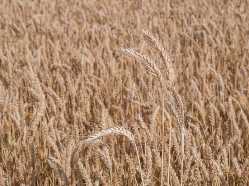 Золотое пшеничное поле готовое для сбора стоковое фото rf