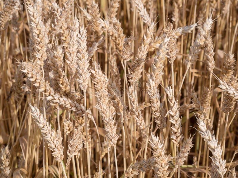 Золотое пшеничное поле готовое для сбора стоковые изображения rf