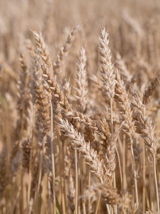Золотое пшеничное поле готовое для сбора стоковое изображение rf