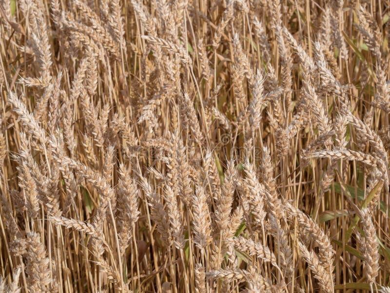 Золотое пшеничное поле готовое для сбора стоковые фото
