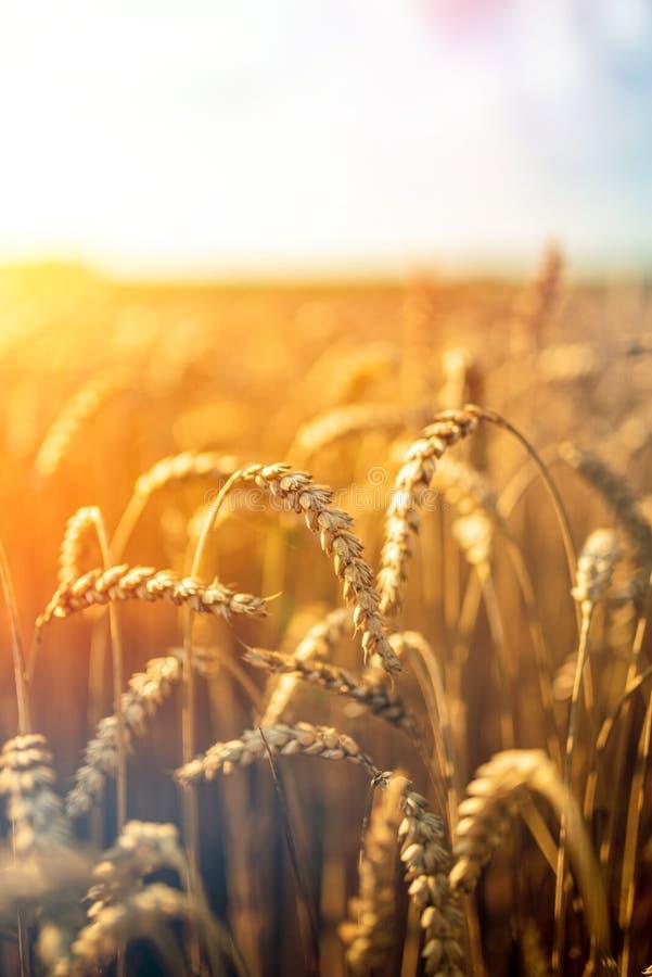 Золотое пшеничное поле и солнечный день стоковые фото