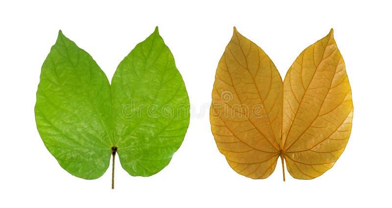 Золотое aureifolia Bauhinia лист изолированное на белизне стоковые фото