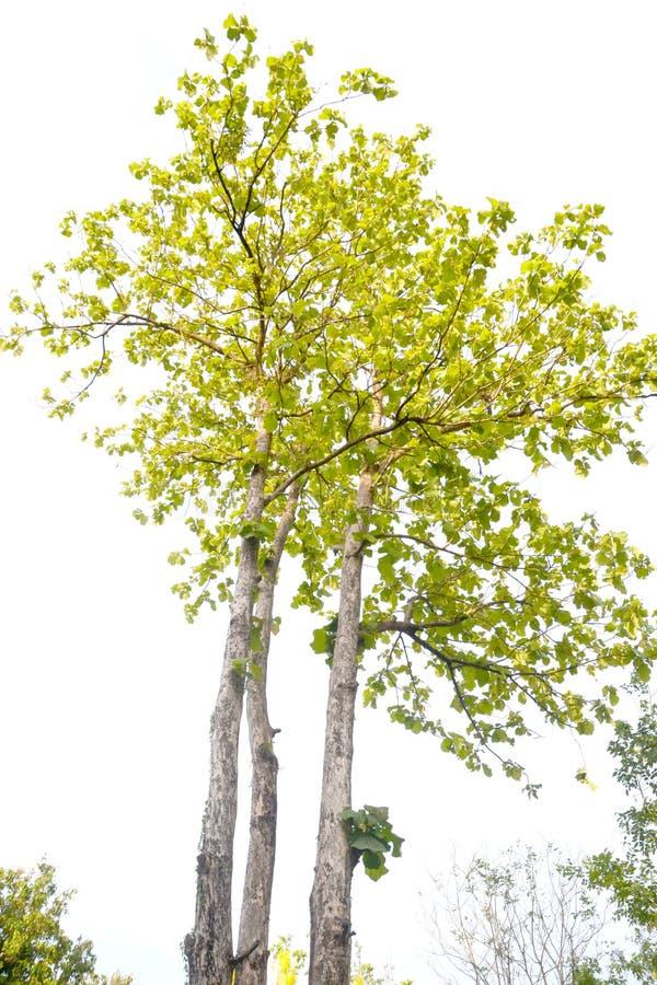 Золотой желтый цвет ливня стоковое фото