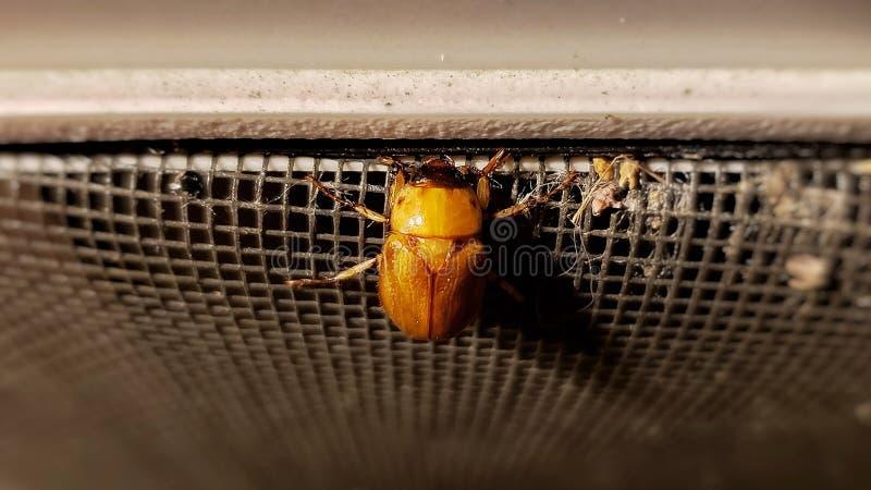 Золотой жук, замаскированный жук жук-чефера стоковая фотография rf