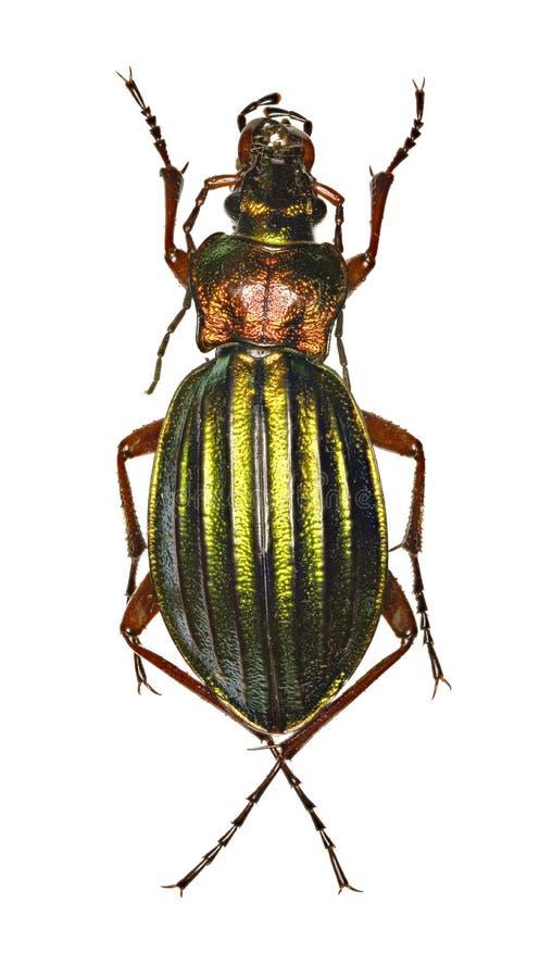 Золотой земной жук на белой предпосылке стоковые изображения rf