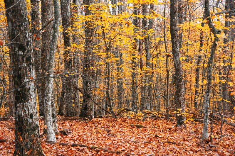 Золотой лес осени стоковые изображения rf