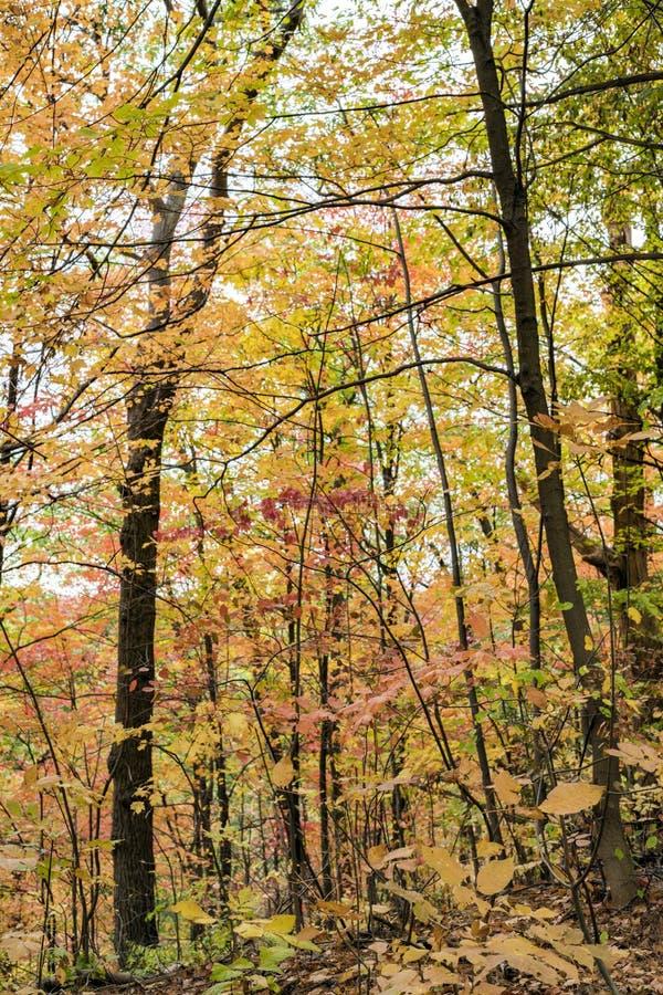 Золотой лес осени с светом - листья желтого цвета сравнили против стоковое изображение rf