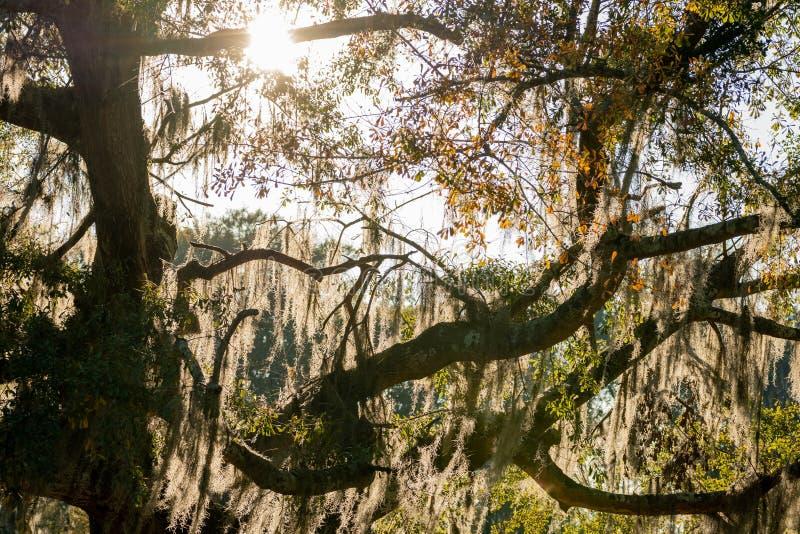 Золотой солнечный свет через испанский мох стоковое фото rf