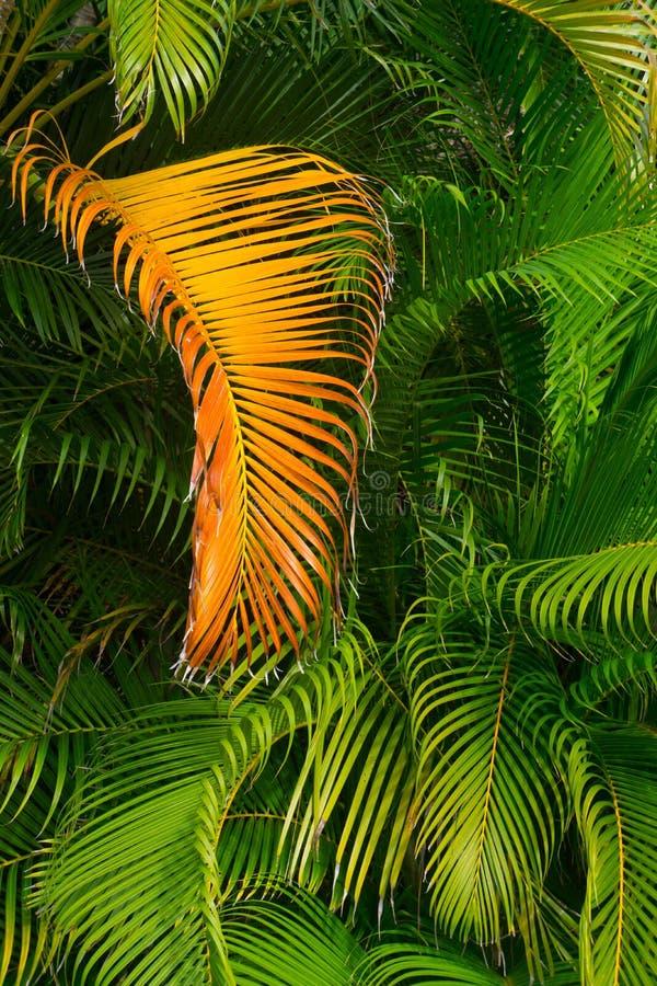 Золотой Frond ладони против растительности джунглей стоковое фото