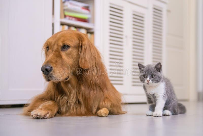 Золотой Retriever и великобританский кот shorthair стоковые фотографии rf