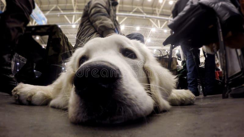 Золотой retriever покорно лежа на поле автовокзала защищая вещество владельцев стоковая фотография
