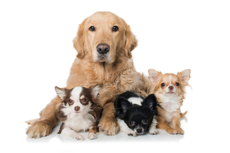 Золотой retriever с 3 собаками чихуахуа лежа на белой предпосылке стоковые фотографии rf