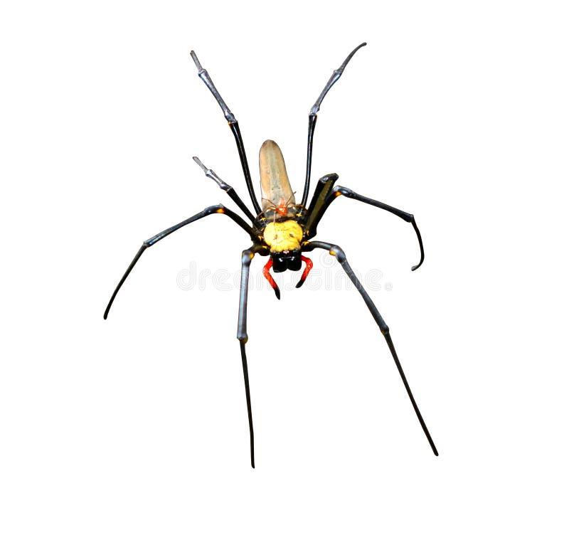 Золотой silk мужчина паука шар-ткачей изолированный на белой предпосылке стоковые изображения