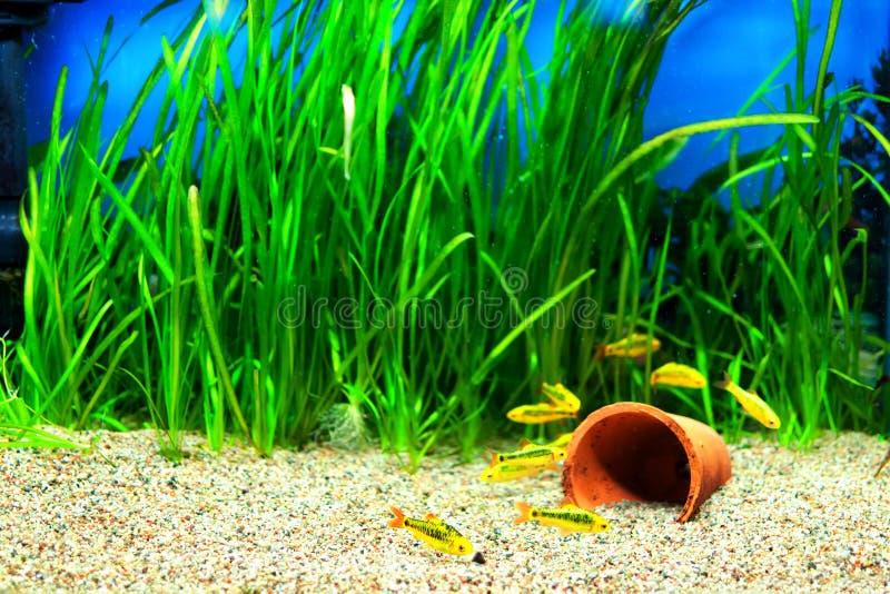 золото рыб колючки аквариума стоковые фотографии rf