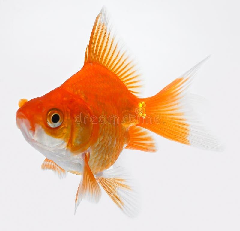 золото рыб стоковое фото rf