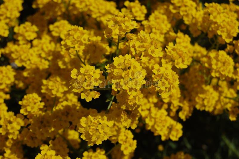 Золотые желтые цветки в лете стоковые фотографии rf