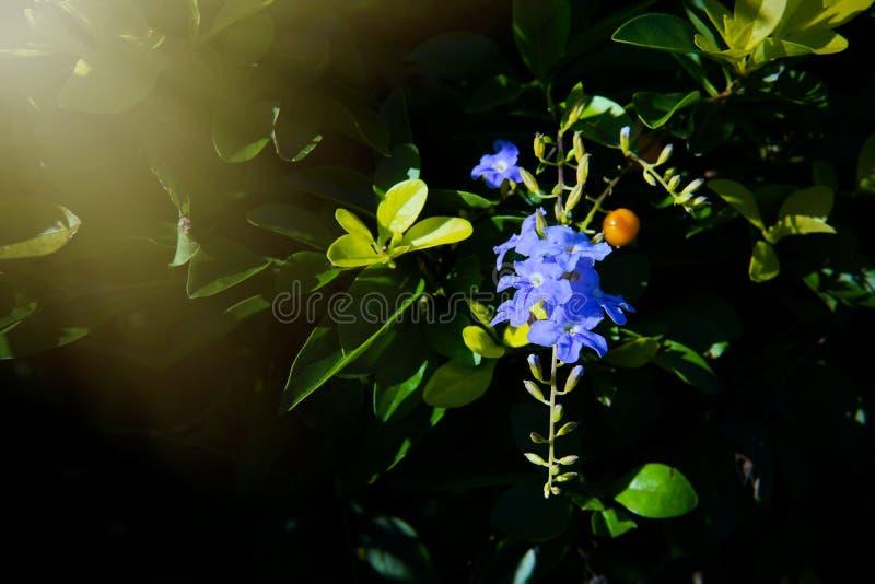 Золотые капля росы, цветок неба или ягода голубя, ` девушки гейши ` erecta Duranta стоковые фото