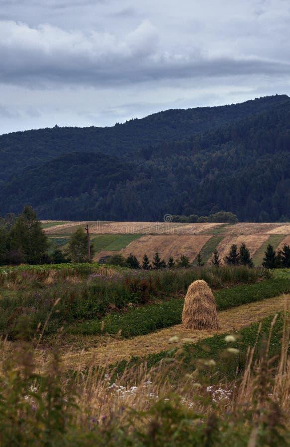 Золотые пшеничные поля в сельской местности Украины и прикарпатских гор на заднем плане стоковое изображение