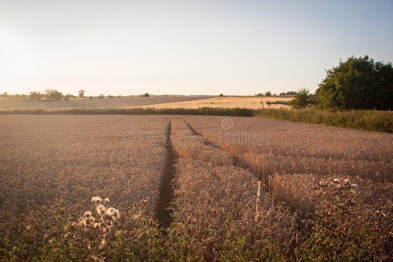 Золотые пшеничные поля на заходе солнца стоковая фотография rf