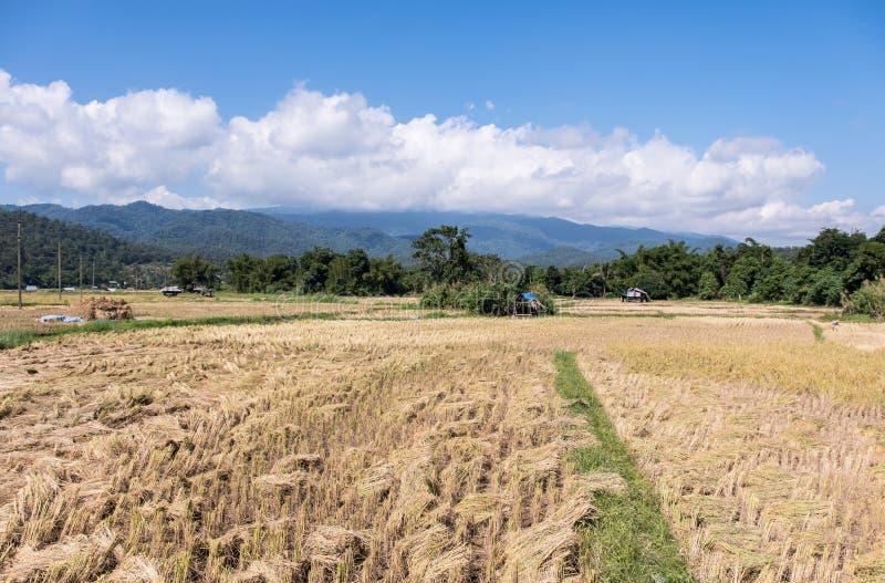 Золотые рисовые поля во времени сбора стоковые изображения rf