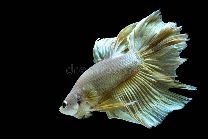 Золотые рыбы Betta сиамские воюя стоковые изображения rf