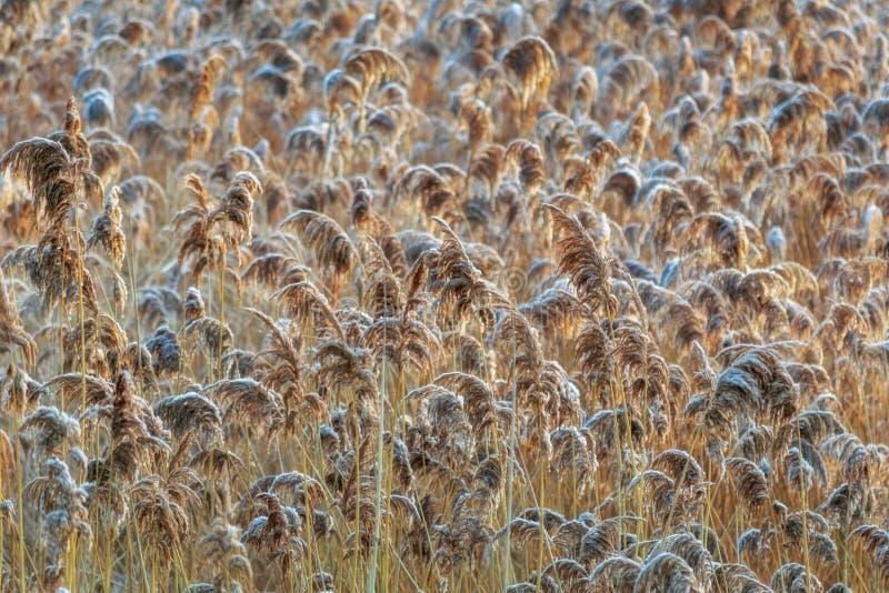Золотые тростники широко стоковое изображение