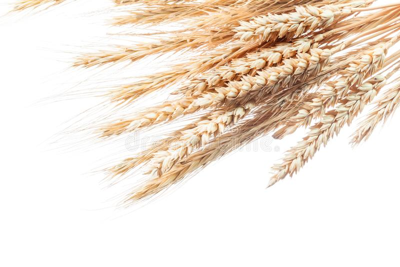 Золотые уши пшеницы и рож изолированные на белизне стоковое изображение