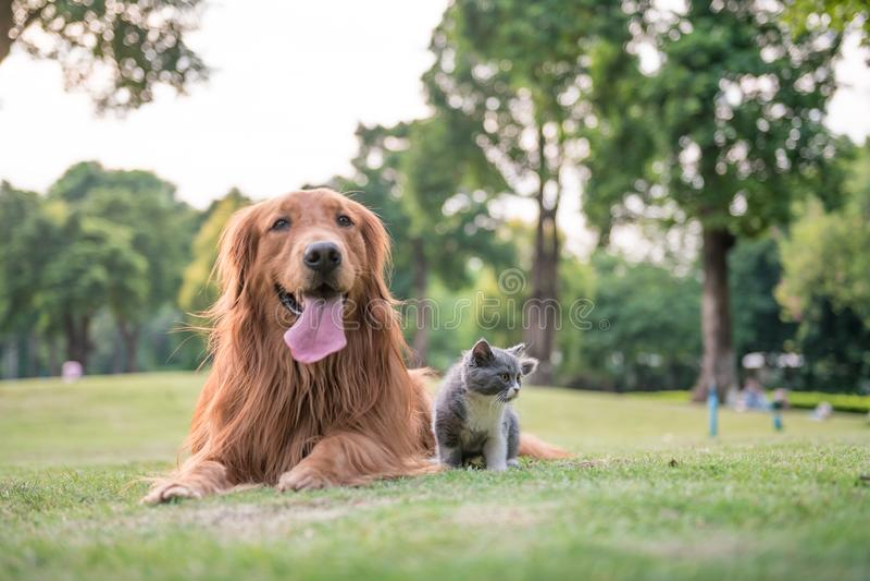 Золотые Retrievers и котята на траве стоковые изображения rf