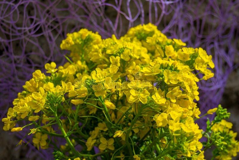 Золотые saxatilis Aurinia alyssum желтеют цветки полностью зацветают во время времени весны стоковое изображение rf