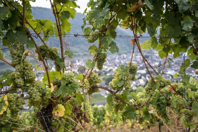 Зона Мозель Winningen 16 виноградин белого вина стоковые изображения