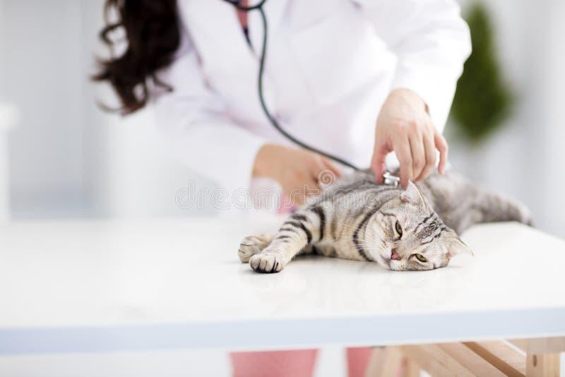 зооветеринарный врач с котом стоковые изображения