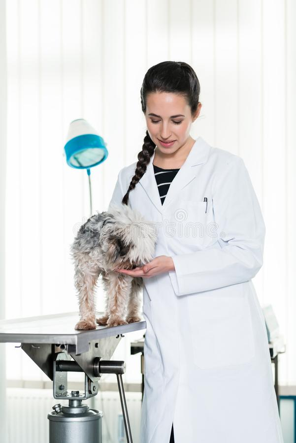 Зооветеринарный рассматривая больной щенок стоковые фотографии rf