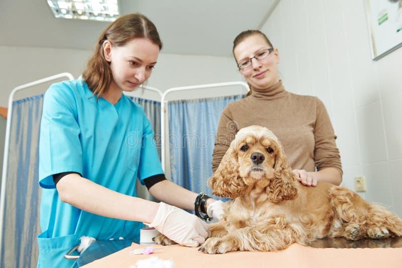Зооветеринарный хирург обрабатывая собаку стоковые фотографии rf